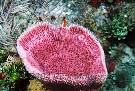 Pink Vase Sponge by Photography Of Belize