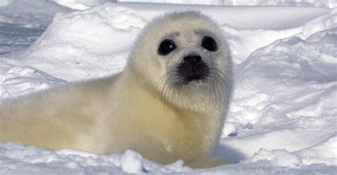 so seal harp seal tours arctic adventures habitat