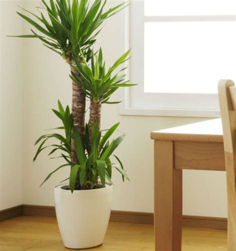 office plants indoor plants tall home decor pinterest indoor and