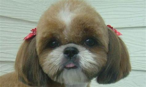 shih tzu grooming products 5 tips for grooming your shih tzu shih tzu daily