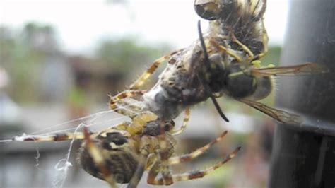 Garden Spider Vs Tarantula Garden Spider Vs Robber Wasp Food From The Sky