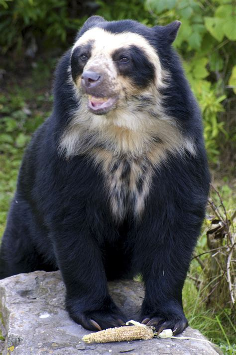 spectacled bear spectacled bear chester zoo flickr photo sharing