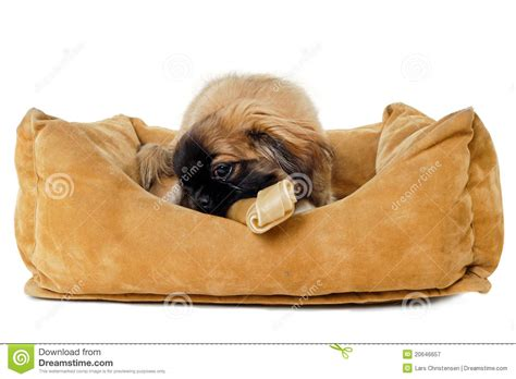 bed and bone puppy eating bone in dog bed royalty free stock