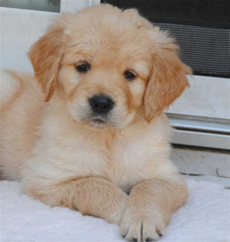 golden dox puppies cross breed pictures hybrid dogs that are pets world