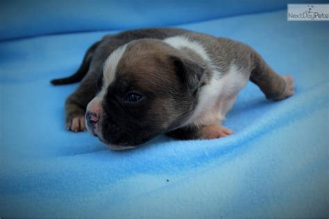 american bully puppies for sale in va bully puppies for sale mikeland bloodline breeds picture