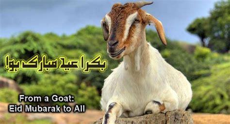 Kambing Kurban syarat sah kambing kurban idul adha peternakankita