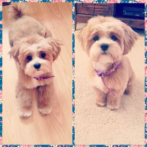 best 25 shih poo ideas on pinterest shih poo puppies pictures of puppy cuts for shih poos girl shih tzu
