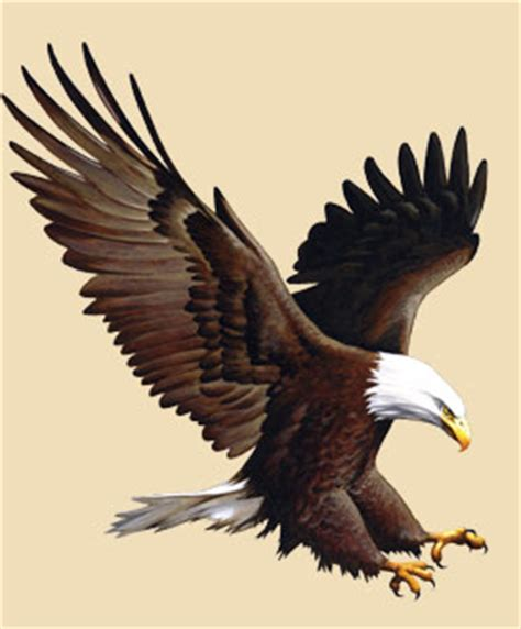 Foot Detox Eagles Landing by Bald Eagle Facts Information And Photos American