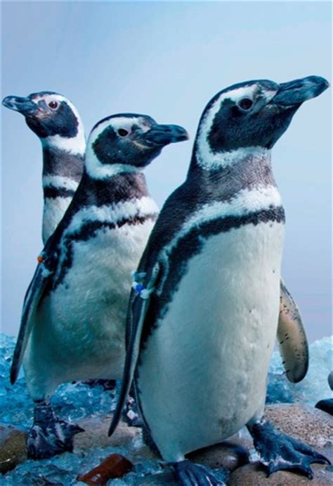 Traveller Pinguin aquarium of the pacific debuts penguins select traveler the national magazine for bank