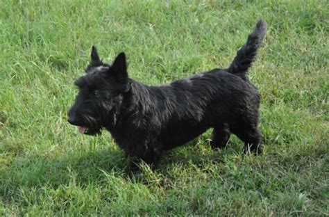 brister family terriers akc male scottish terrier puppies in texas brister