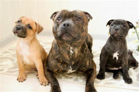 staffordshire bull terrier appartamento cachorros potencialmente perigosos lista completa
