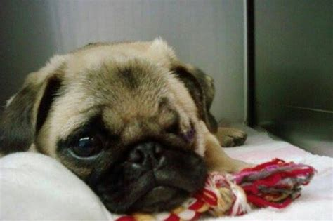 study pug cost fundraiser by elizabeth brown appleby save the pug