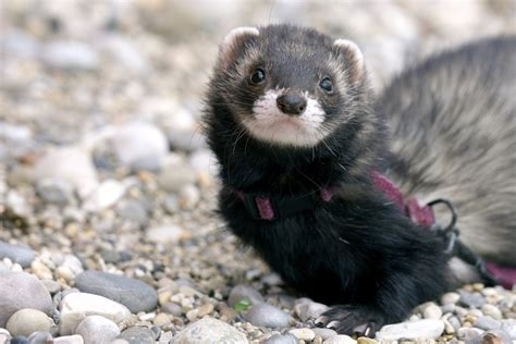 ferrets are great pets if you understand what it s like to