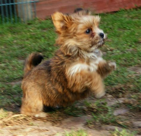how much are havanese puppies uk bichon havanais brun s 246 k p 229 djur havanese and havanese