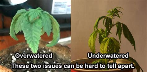 underwatering cannabis symptoms solution grow easy roots the most important part of your plant grow easy