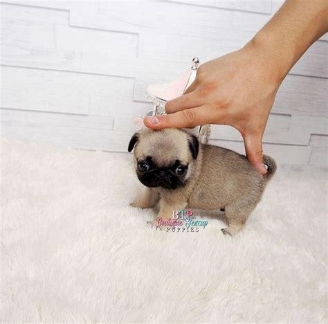 baby pug cost die besten 25 teetasse mops ideen auf baby m 246 pse babyhunde und kleine tiere