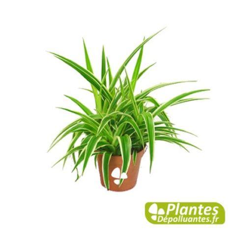 Impressionnant Plante D Interieur Depolluante #5: plante-depolluante-chlorophytum-ocean.jpg