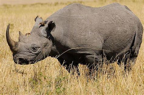 igbo names for animals west africa animal west black rhino extinct animals
