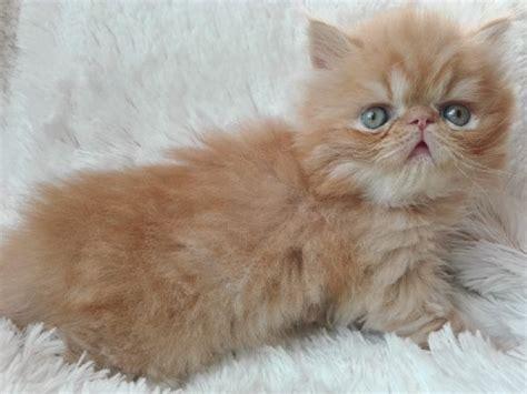 cerco gatti persiani in regalo offro in regalo cucciolo persiano da privato a lecce