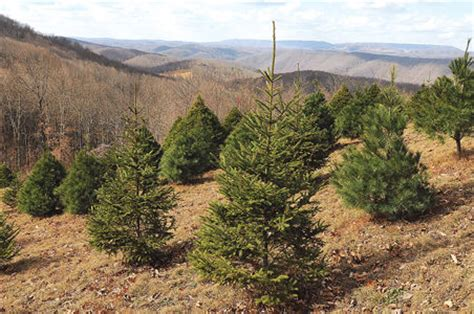 tree traditions choose and cut farms fun for the whole