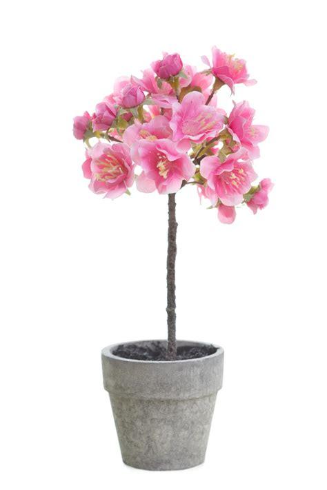 ciliegio nano in vaso 8 piante da frutto perfette per la coltivazione in vaso