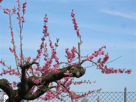 07 fruit tree file quot 13 italy in bloom flowers of