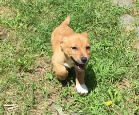 dachshund terrier mix puppies for sale view ad dachshund terrier mix puppy for sale pennsylvania milford usa