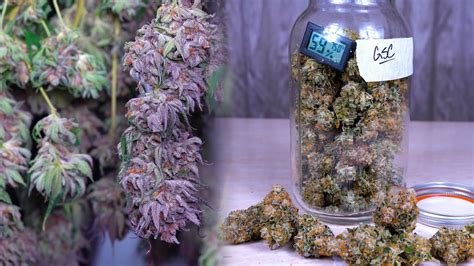 drying curing cannabis  beginners grow  weed