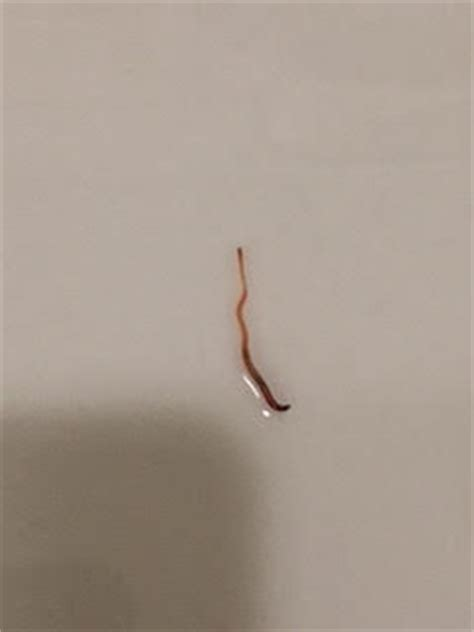 thin red worms in bathroom worm researcher rebecca author at all about worms