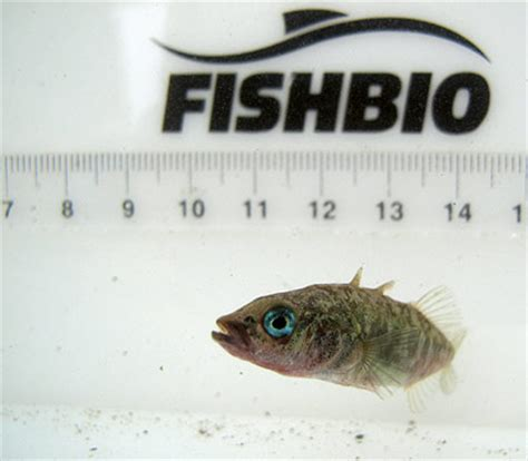 Fish Bio ol blue fishbio fisheries research monitoring and conservation