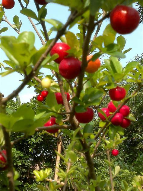 pupus mekar nursery koleksi tanaman buah