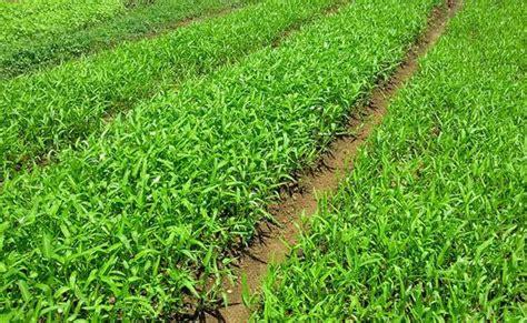Benih Bayam Dan Kangkung cara budidaya kangkung cabut untuk pemula tanaman hias