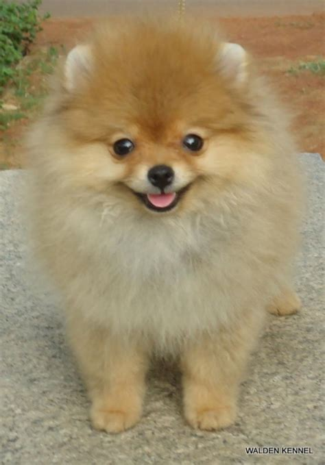 pomeranian puppy price in hyderabad pomeranian puppies for sale yousuf khaja 1 11529 dogs for sale price of puppies