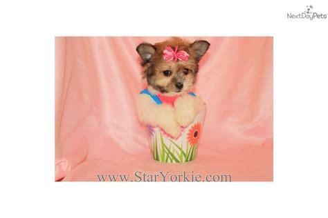 havanese las vegas havanese puppy for sale near los angeles california 06abbdfa d4a1