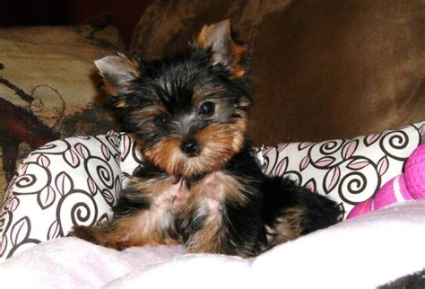 teacup yorkie for sale picture of a terrier breeds picture