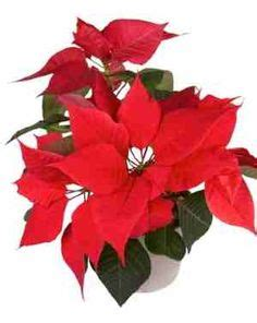 poinsettia poisonous to dogs plants toxic to dogs page 3 to find out dogs and plants