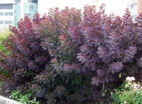 royal purple smoke bush cotinus coggygria royal purple