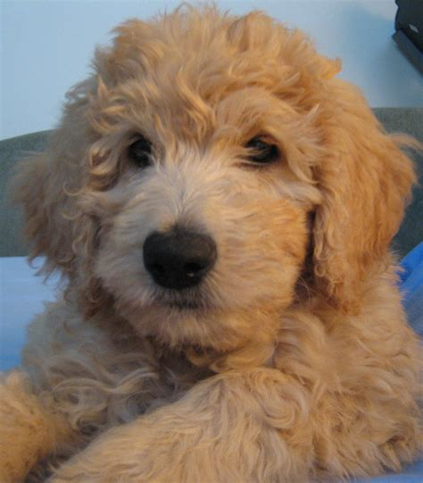 golden retriever or goldendoodle f1b goldendoodle and golden retriever