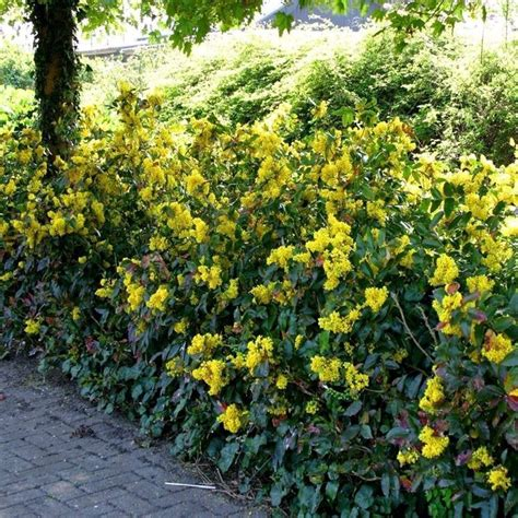 cespugli sempreverdi con fiori siepi da giardino sempreverdi siepi siepi giardino