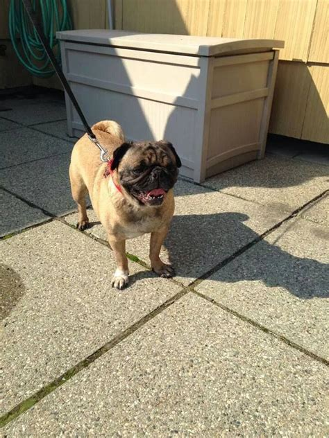 pug network 187 best images about pugs on
