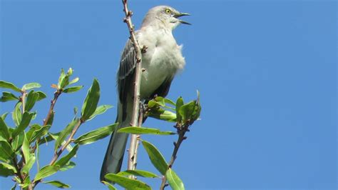 backyard birding and nature mockingbird singing