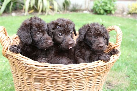 miniature puppies miniature labradoodle info temperament puppies pictures