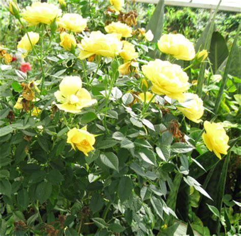 wallpaper bunga mawar kuning segalanya tentang tumbuhan