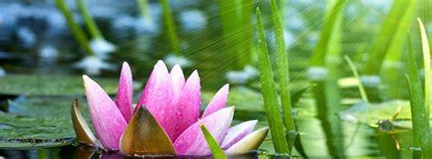 lotus flower cover photo lotus flower cover photo savingourboys info