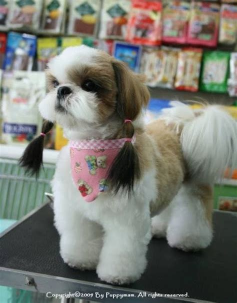 how to groom a shih tzu at home how to groom a shih tzu at home breeds picture
