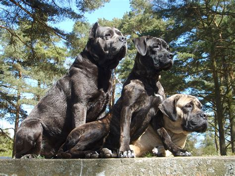 Cane Corso Wallpapers   Fun Animals Wiki, Videos, Pictures