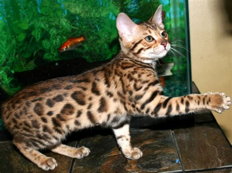 jaguar pattern house cat mokave cat breeds asian leopard cat bengals desert