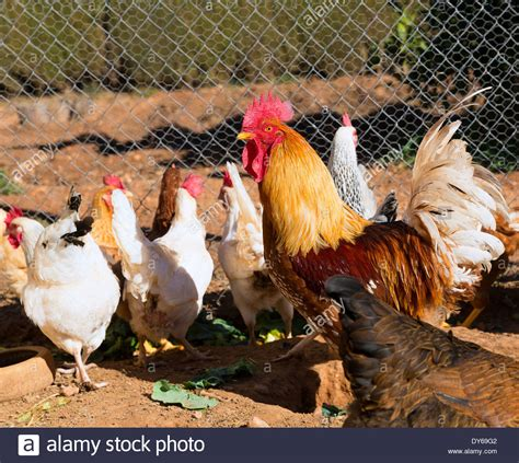buy hen house rooster and hens in the hen house poultry stock photo royalty free image 68366034