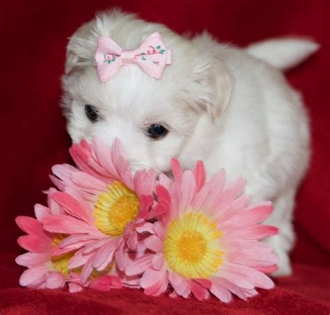 puppies in nj maltese puppies for sale burlington county nj 222036