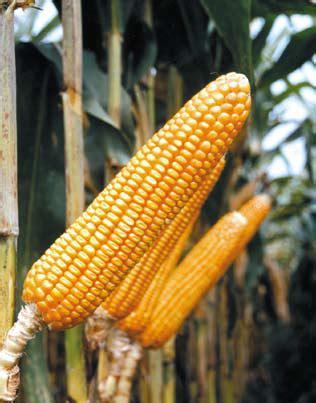Benih Jagung Bisi 222 cara budidaya beberapa varietas benih jagung hibrida pilihan